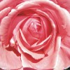 La Vida Rose